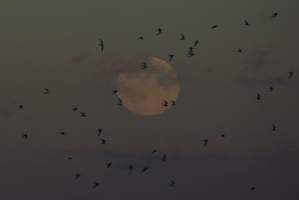 terns and moon 2
