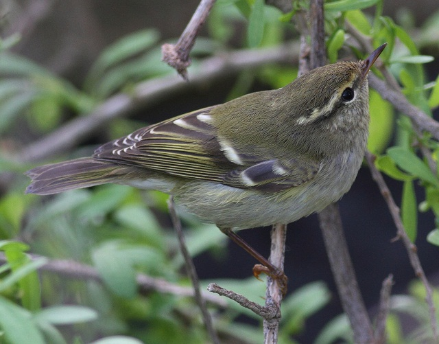 Yellow-browed Linosa Miki
