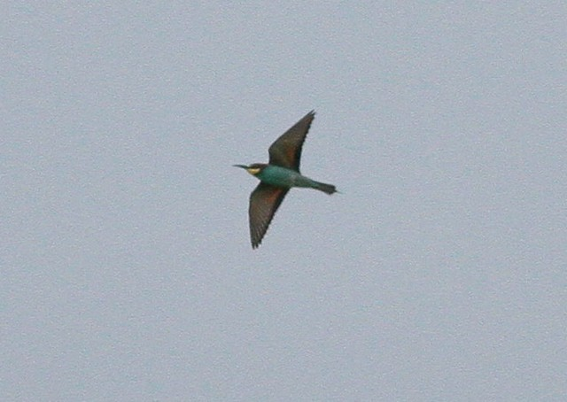 Bee eater pair Westmere 17 May 2012 d