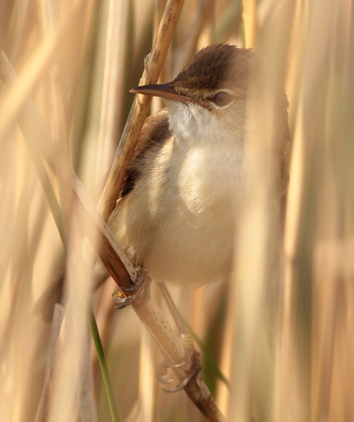 Reed Warbler spurn canal May 2012 b