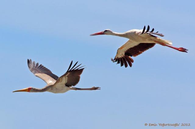 Yellow-billed Stork with White Stork © Emin Yoğurtcuoğlu 2012