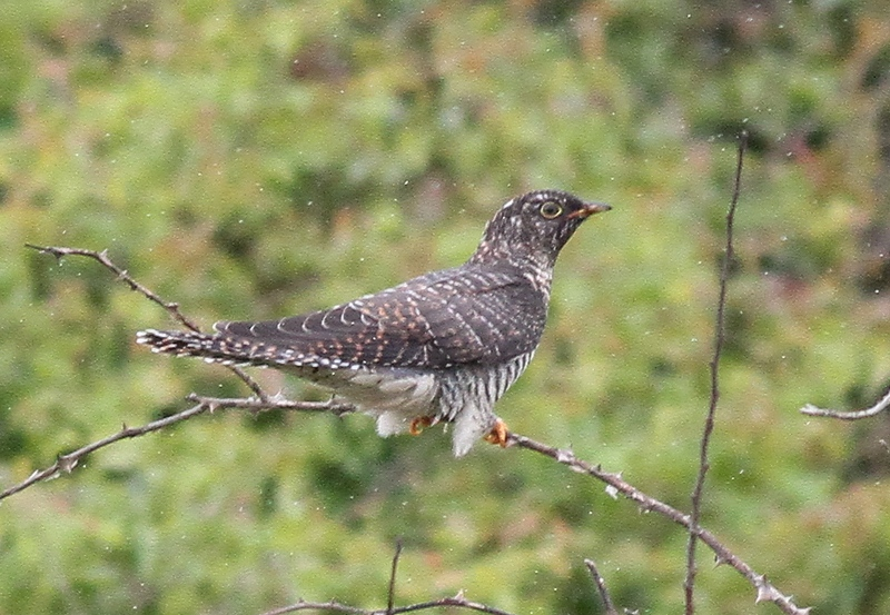 Juv Cuckoo Spurn 16 July 2012 c