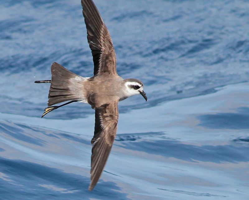 White-faced Storm Petrel 4