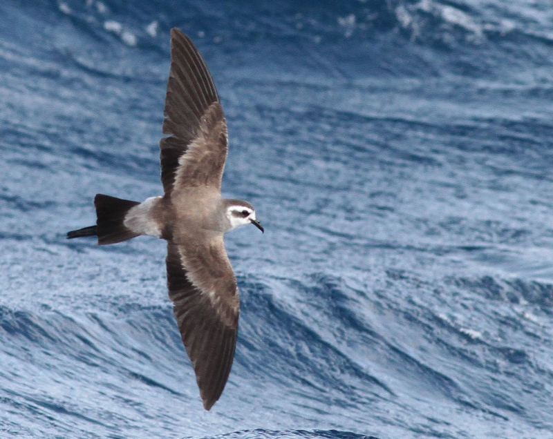 White-faced Storm Petrel 9