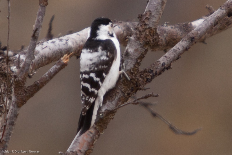Woodpecker-Varanger-34194