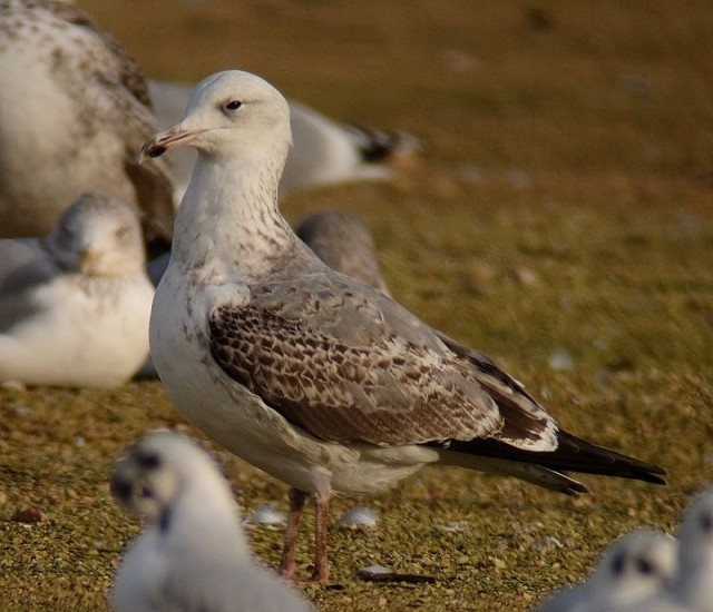 Caspian Gull 2cy c Sheffield 30.11.12