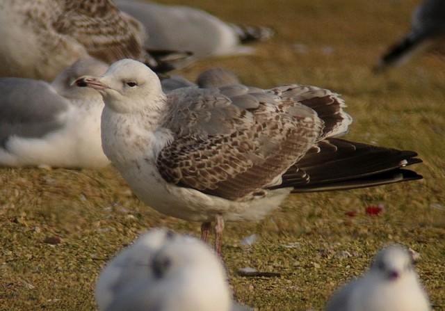 Caspian Gull 2cy Sheffield 30.11.12
