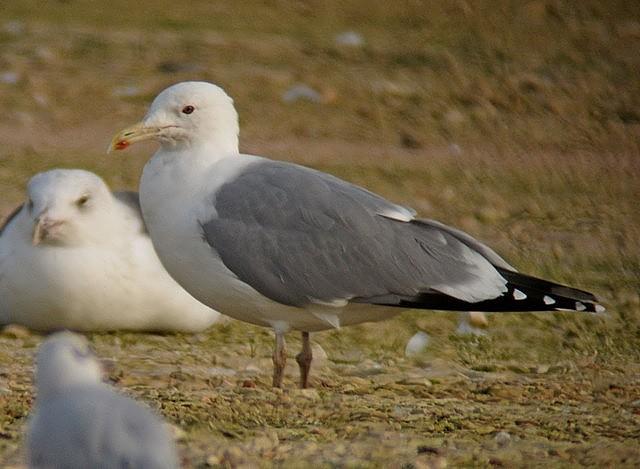 Caspian Gull adult Neepsend 30.11.12