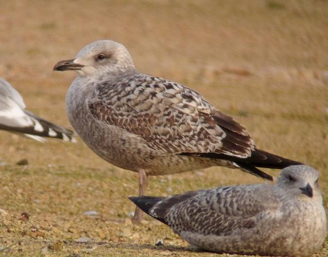 Yellow-legged Gull michahellis b 1cy Neepsend 30.11.12