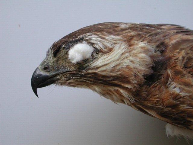 16ii. Head on profile of a dark juvenile.