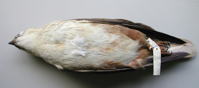 3.An adult male of the typical plumage but of these birds more typically encountered (but not exclusively) on desert areas which show a very clean, unmarked plumage where the white colour is predominant. Usually, the thigh-feathers are still rufous tinged, but in some extreme birds, chiefly once abraded and sun-bleached, the whole underparts could appear off white or creamy white.