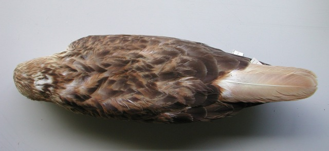 4.Same bird (fig.3) from above, note that the tail when sun-bleached become almost white too. When is fresh the tail is orange-cinnamon or rusty-orange tinged reddish. However there is a great deal of variability in the tail colour and pattern.