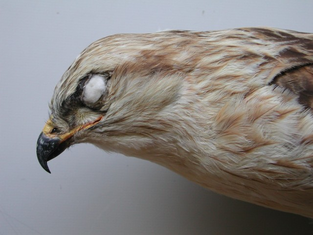 5.Same bird head profile. Note how pale and contrasting is the head, in that case just like in nominate rufinus. Note also the long powerful bill and the long gape-line.