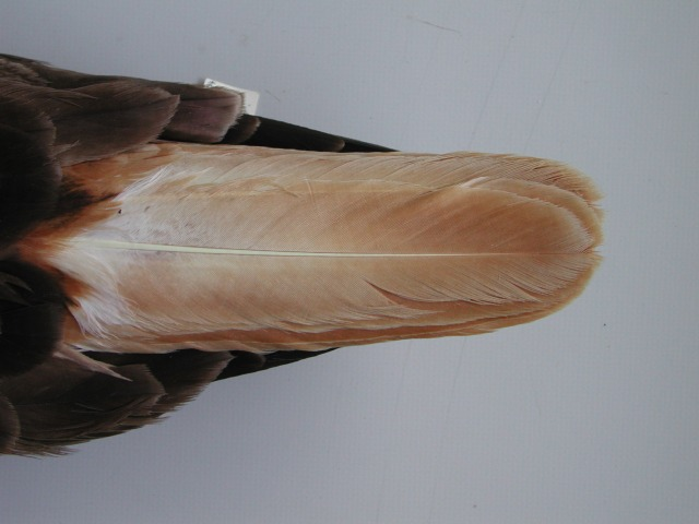 6.Close view of the faded tail of the same bird. Photo © Natural History Museum, Tring (courtesy of NHM , Tring Staff).