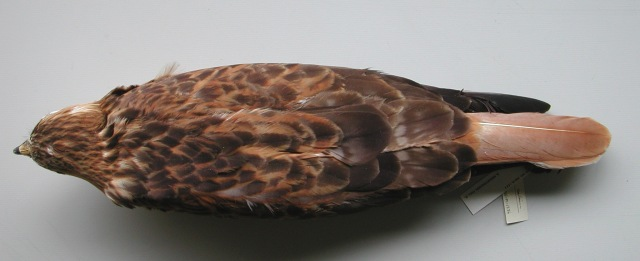 9.Same bird as fig. 8 from above; note the very broad rusty-orange fringing to the upperparts and the fresh cinnamon-orange tail.