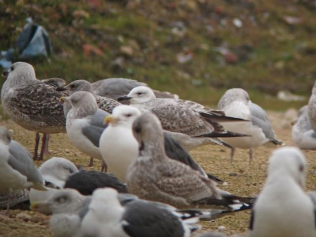 a Caspian Gull 1st w Neepsend 18.12.12 pic