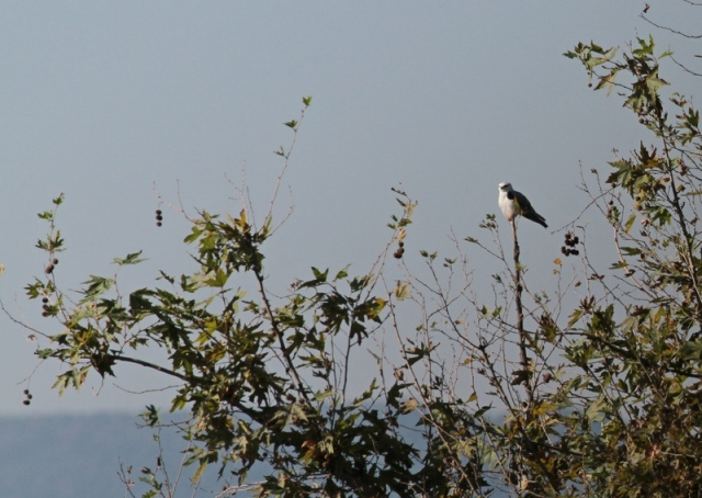 asian black shouldered kite 3