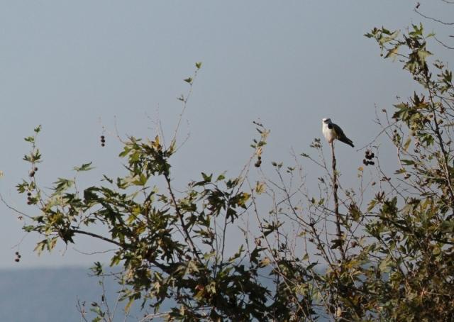 asian black shouldered kite 3