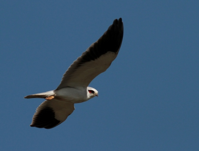 asian black shouldered kite 4