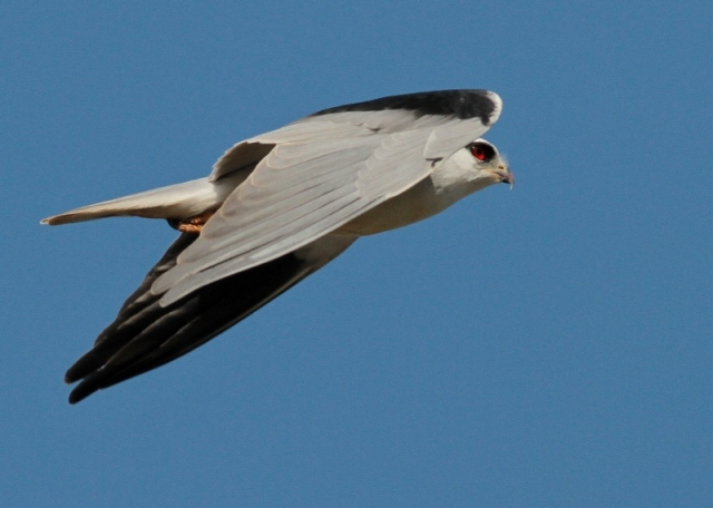 asian black shouldered kite 5