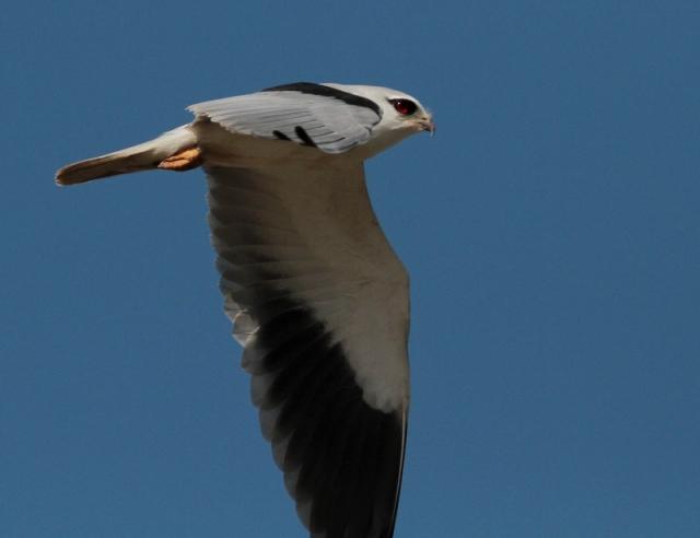 asian black shouldered kite 6