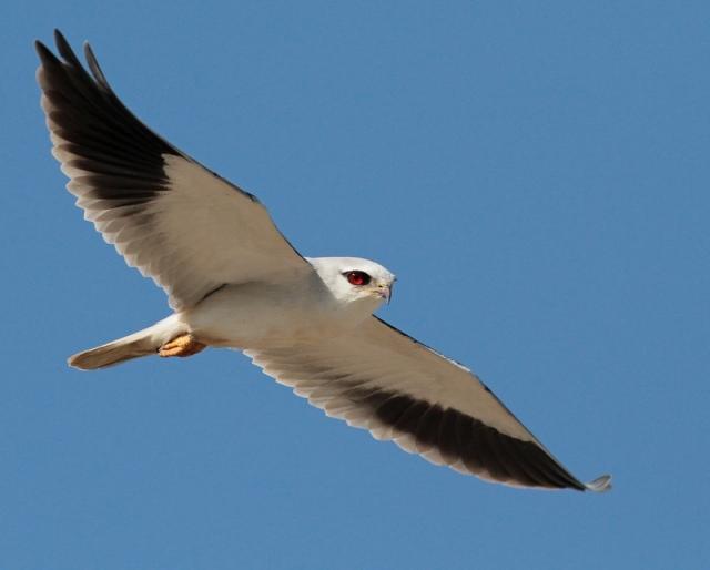 asian black shouldered kite