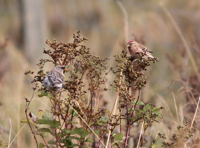 big and small redpolls 2