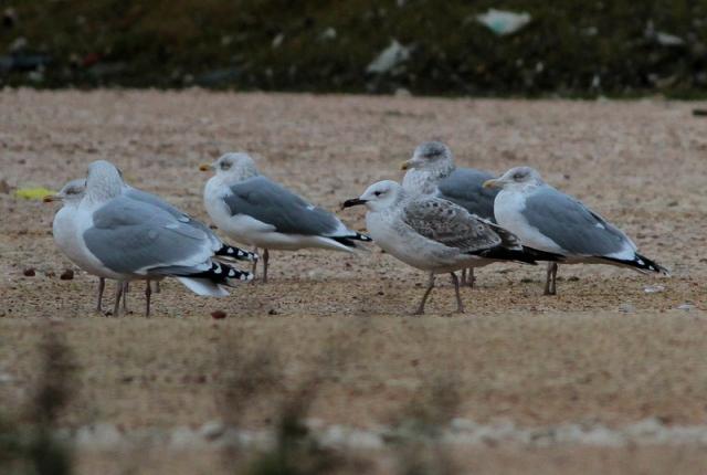 Caspian Gull 1cy Neepsend 21.12.12 c