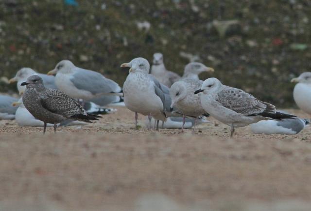 Caspian Gull 1cy Neepsend 21.12.12 d