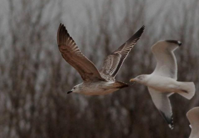 Caspian Gull 1cy Neepsend 21.12.12