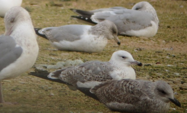 Caspian Gull 2nd winter 15.12.2012 MG