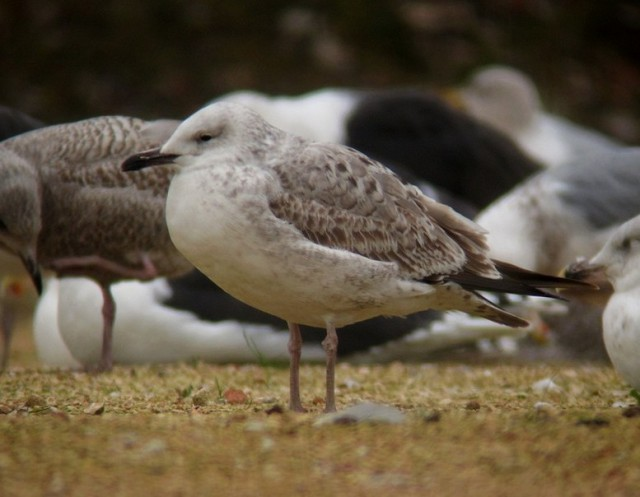 Caspian Gull ad c Neepsend 21.12.2012