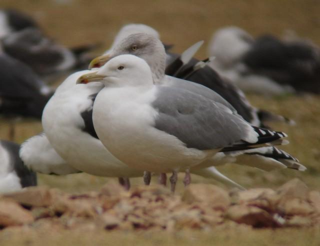 Caspian Gull ad Neepsend 21.12.2012