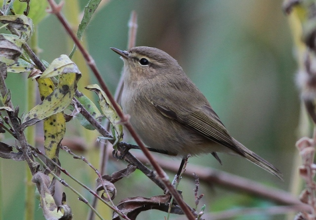 Chiffchaff nov 19th 2012  JBO 1