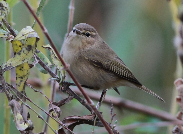 Chiffchaff nov 19th 2012 JBO 3