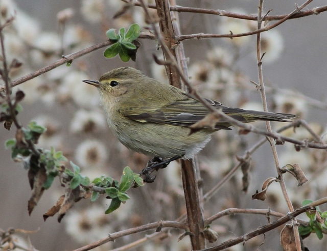 Chiffchaff nov 19th 2012 JBO 6