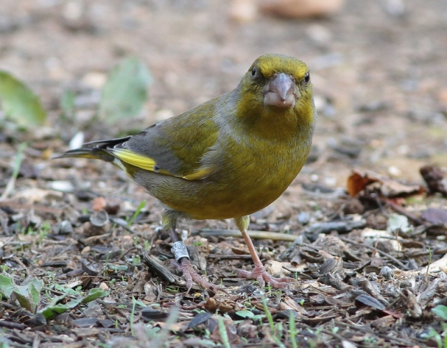 Greenfinch JBO 1 19.11.12
