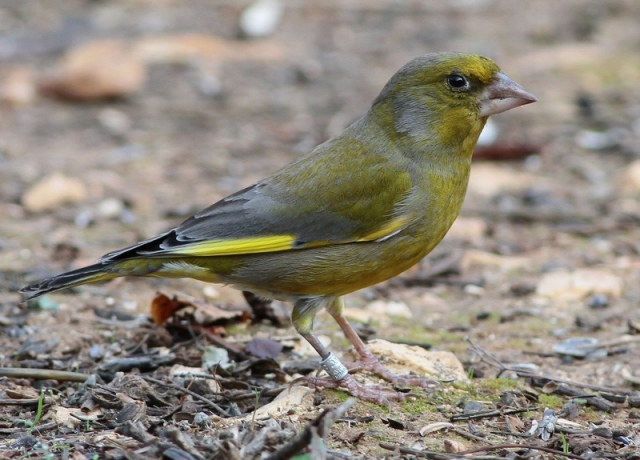 Greenfinch JBO 2 19.11.12