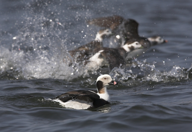 Long-tailed-Ducks-erupt,-ed