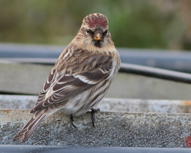 NW redpoll Skaw