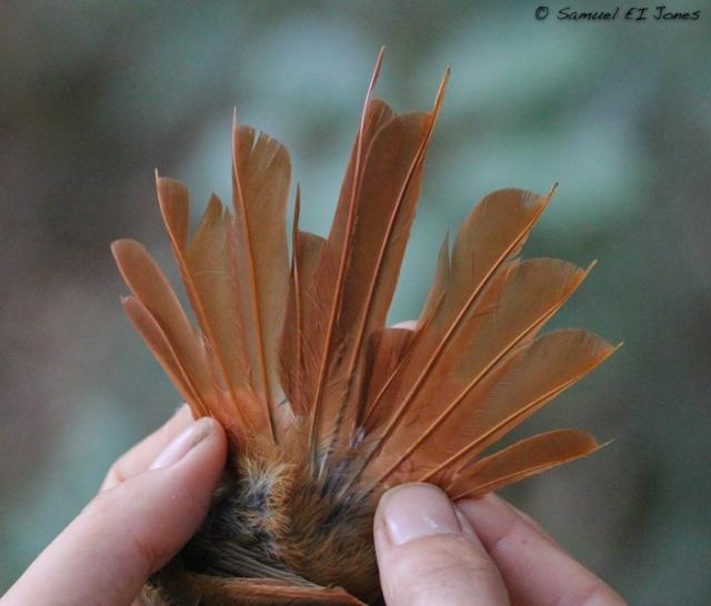 Trepatroncos oliváceo Sittasomus griseicapillus-  Cola de un juvenil mostrando muda simétrica de rectrices donde R1 y R2 estan en crecimiento. Esta fotografía muestra el raquis largo de las rectrices en trepatroncos les sirve para balance.