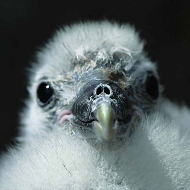 p70 Fulmar chick