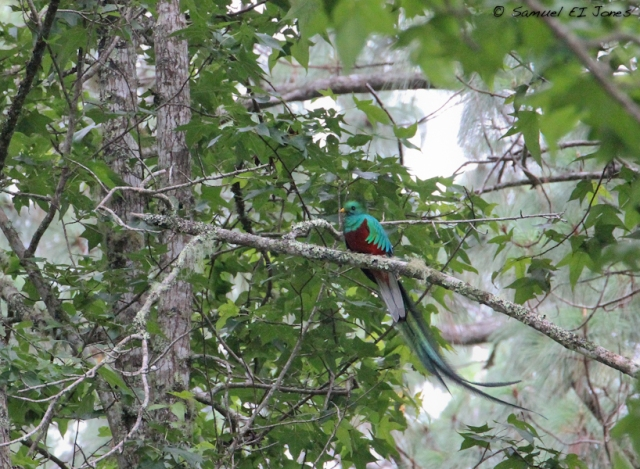 Resplendent Quetzal(male); Base Camp, Cusuco National park, Honduras