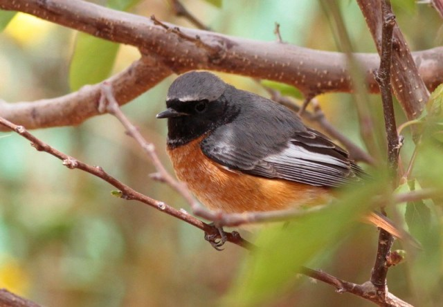 sammy-redstart-11