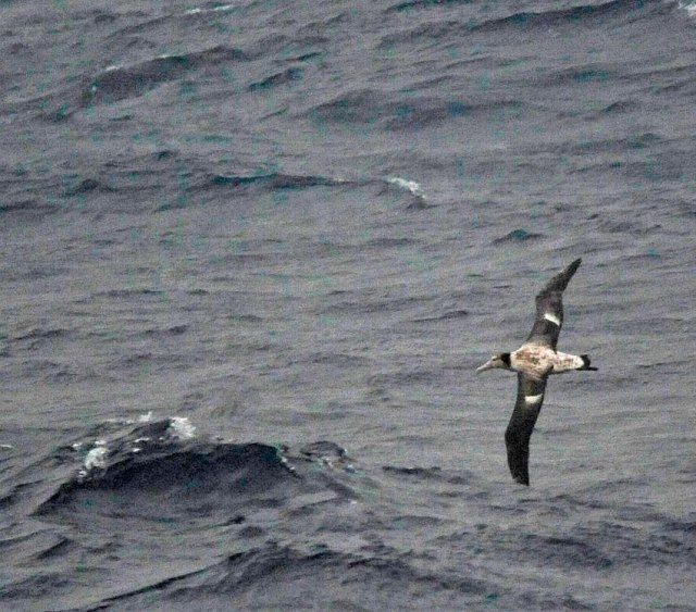 short-tailed-albatross-ferry-hachijojima-b-DLV