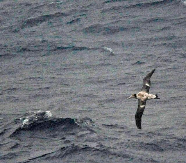 short-tailed-albatross-ferry-hachijojima-b-DLV
