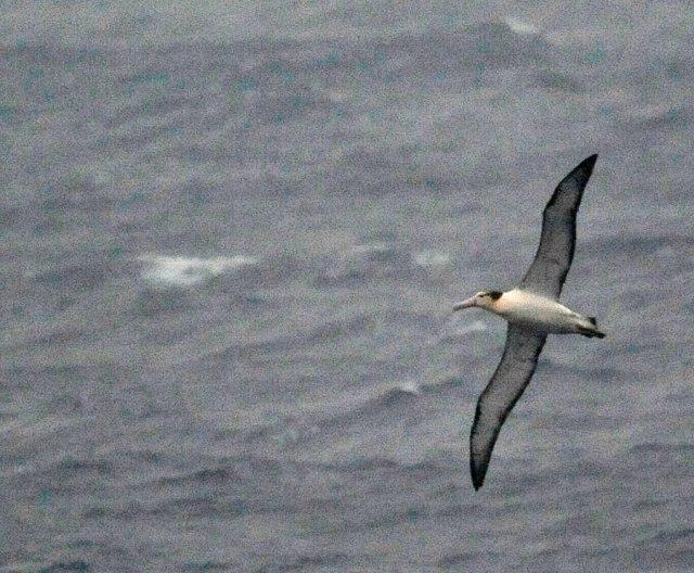 short-tailed-albatross-hachijojima-DLV