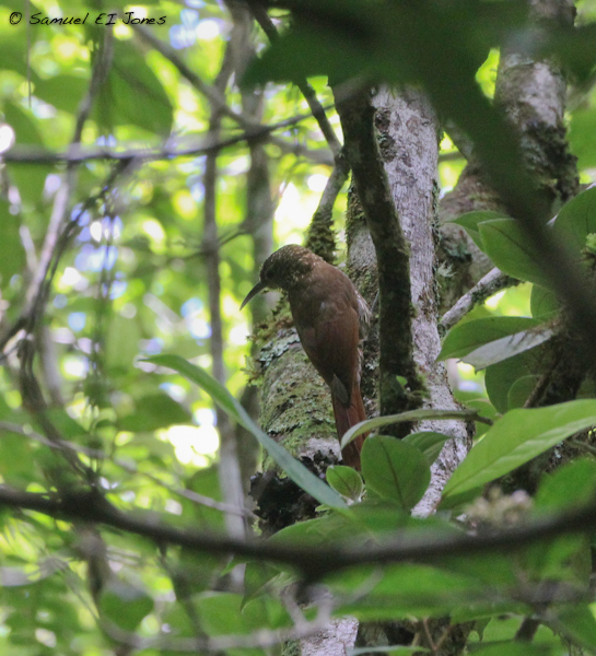 Spot-crowned Woodcreeper Lepidocolaptes affinis - A typical view of a typical cloud-forest species.