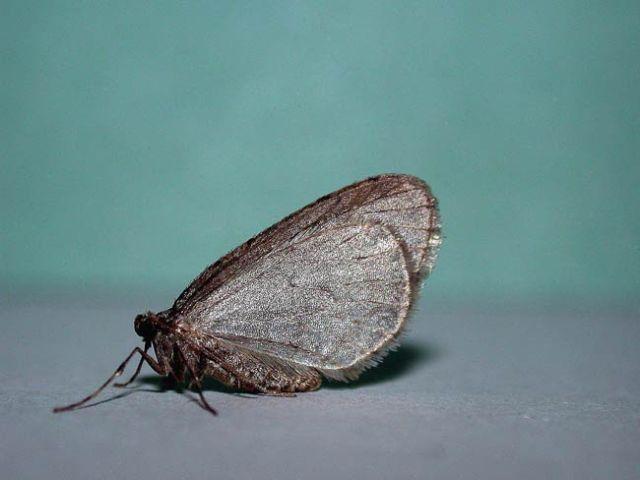 Winter-Moth