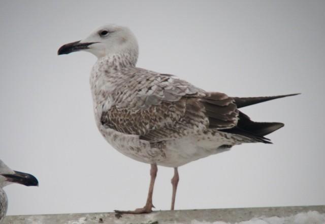 Caspian Gull 2cy 24.1.13